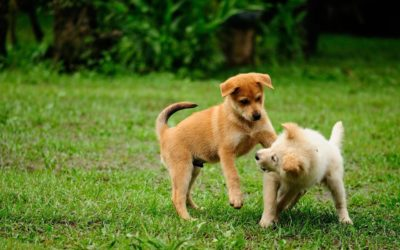 Puppy Play – Is it normal for puppies to play rough?